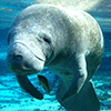 Watch out for migrating manatees!