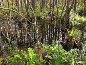 The Great Green Swamp feeds the Hillsborough River