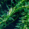 featured_hydrilla_invasive