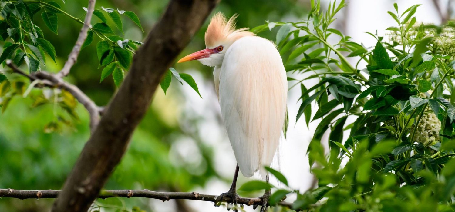 Egret perched in a tree